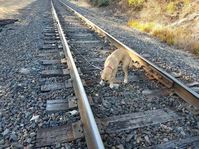 chien train