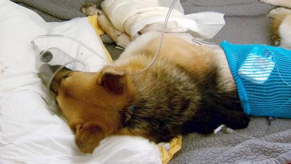 berger allemand vétérinaire