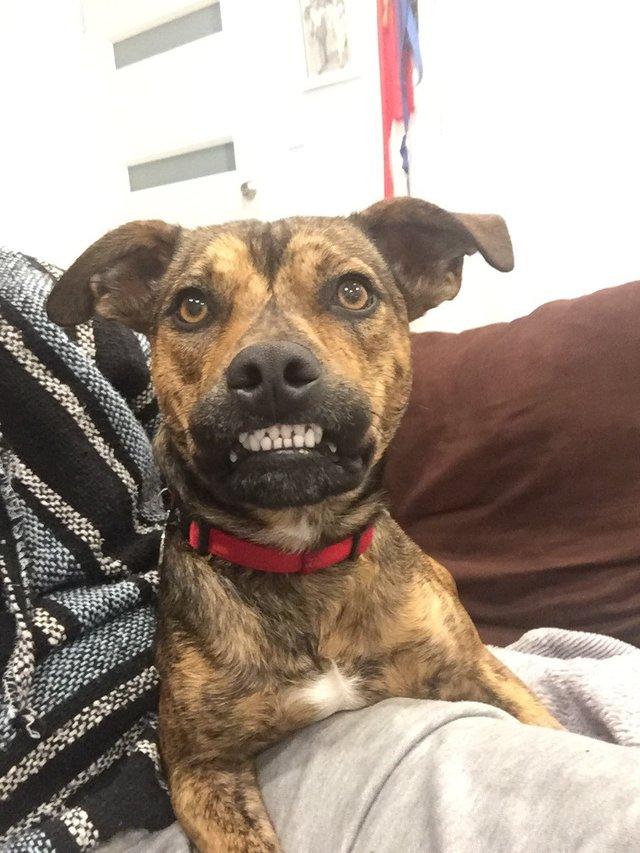 chien grand sourire dents