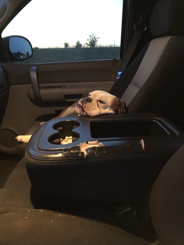 chien installé voiture