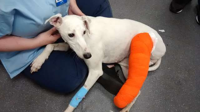 chienne blessée patte