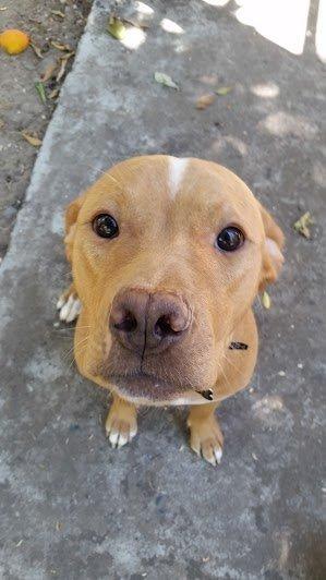 chienne pitbull