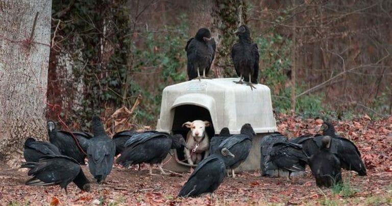chienne niche vautours