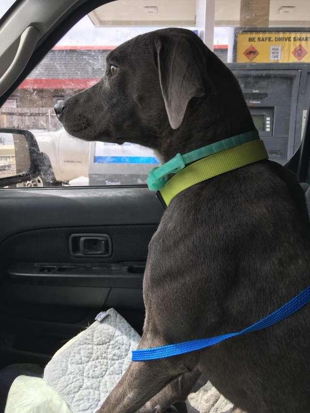 chienne attachée voiture