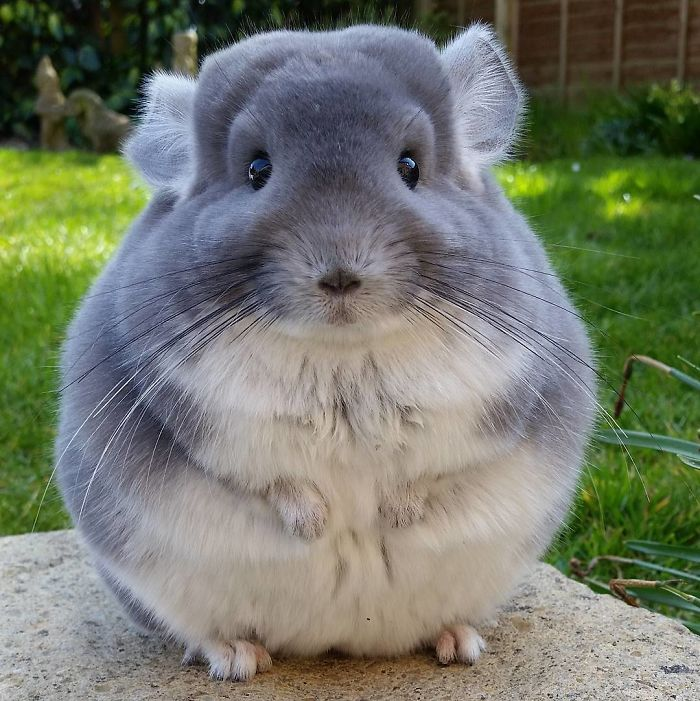 picture How to Breed Chinchillas