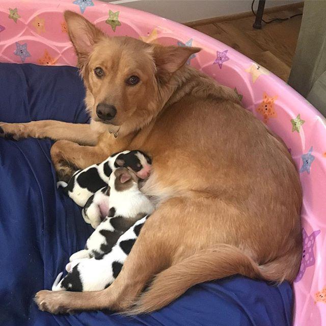chienne rosie bébé dalmatiens