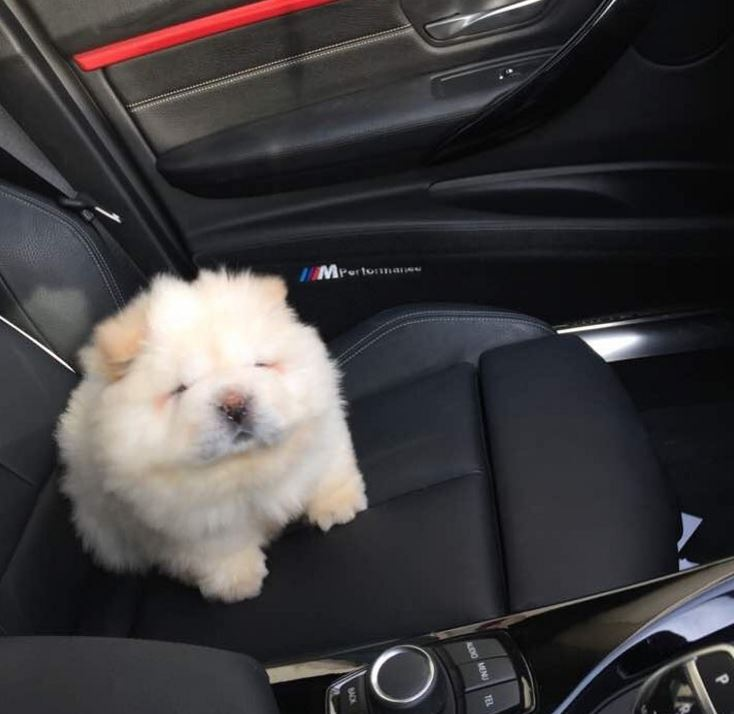 puffy chow chow adorable voiture