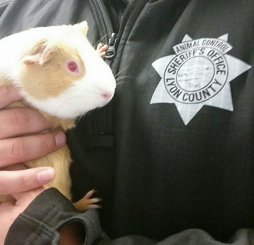 cochon d'inde policier