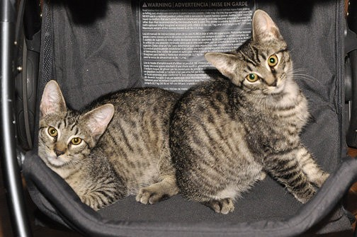 chatons sac transport