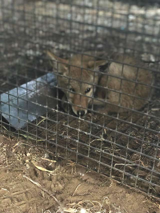 coyote cage