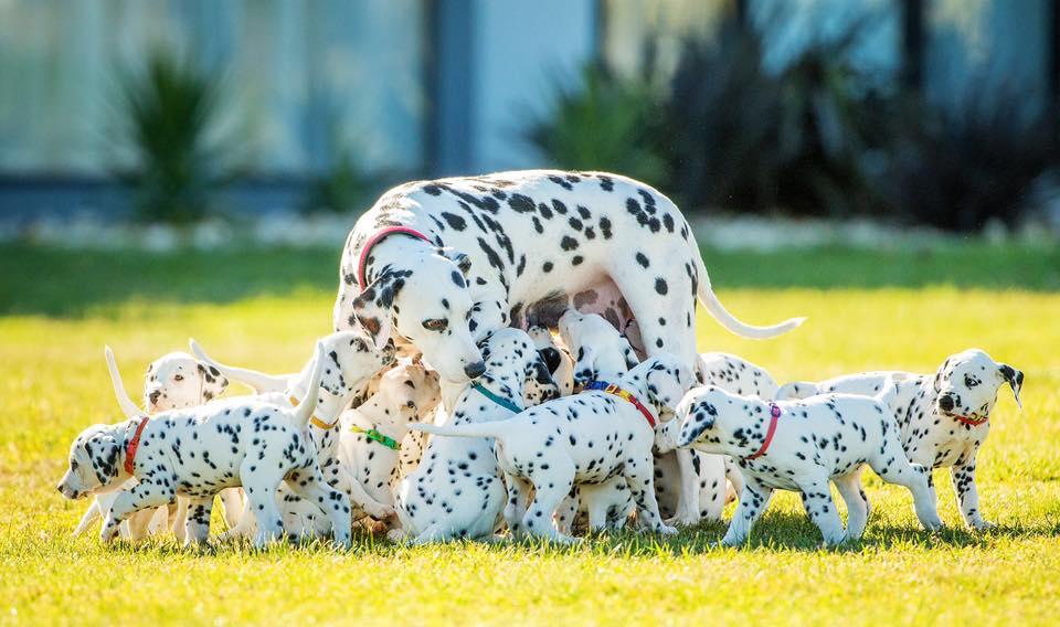 dalmatiens portée famille