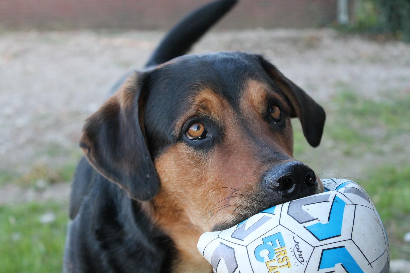 chien ballon balle