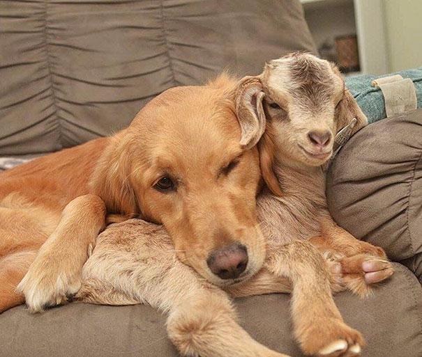 chien et chevreaux