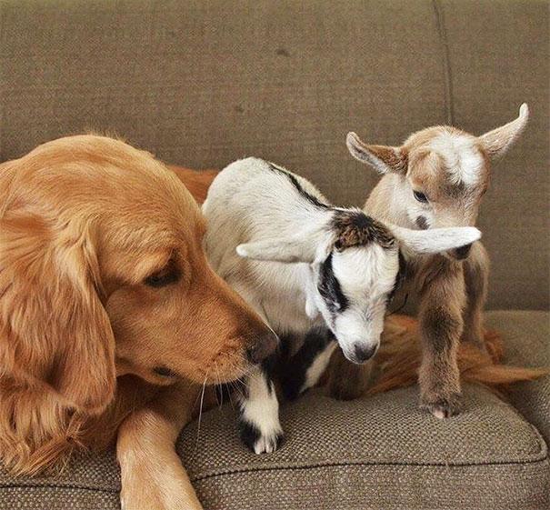 chienne et chevreaux