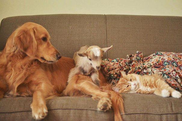 chien et chevreaux et chat