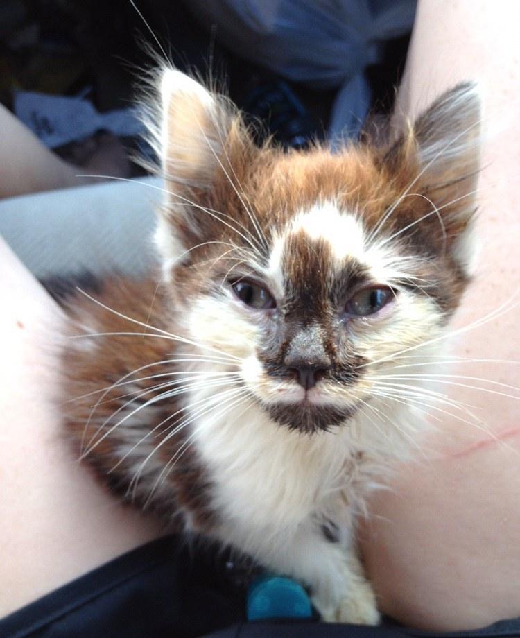 chaton marron et blanc