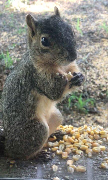 écureuil trois pattes