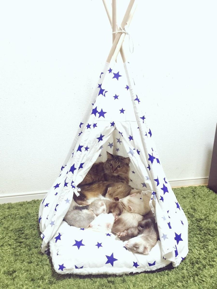 chaton tente