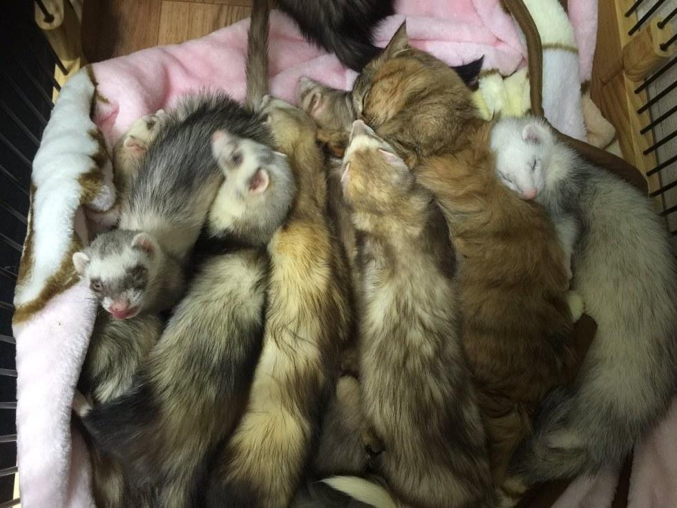 chatons furets
