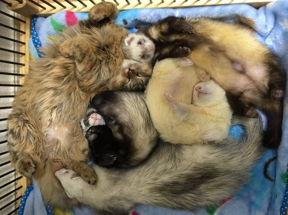 furets chaton