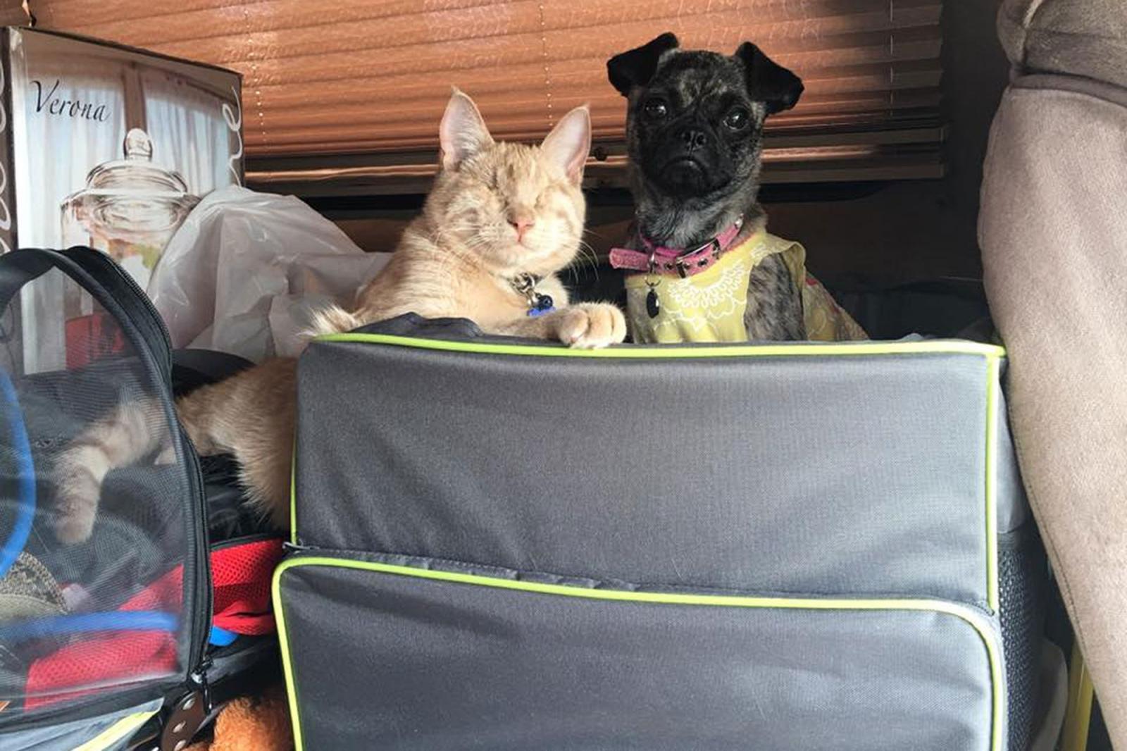 chat aveugle chien paralysé