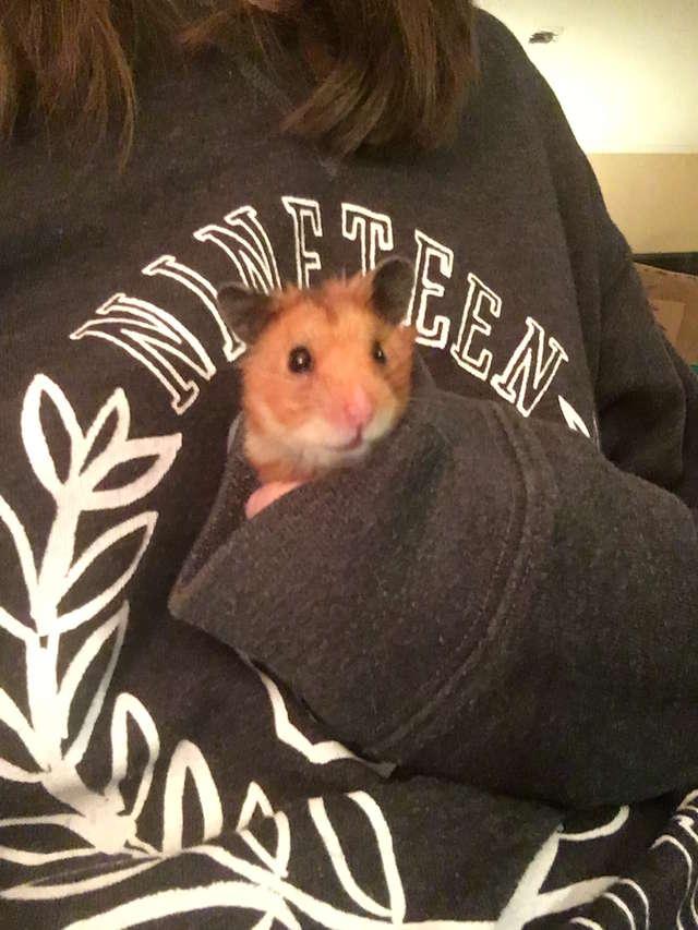 hamster câlins