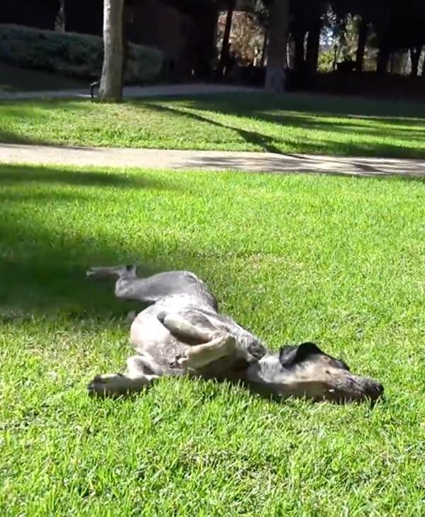 chienne allongée herbe