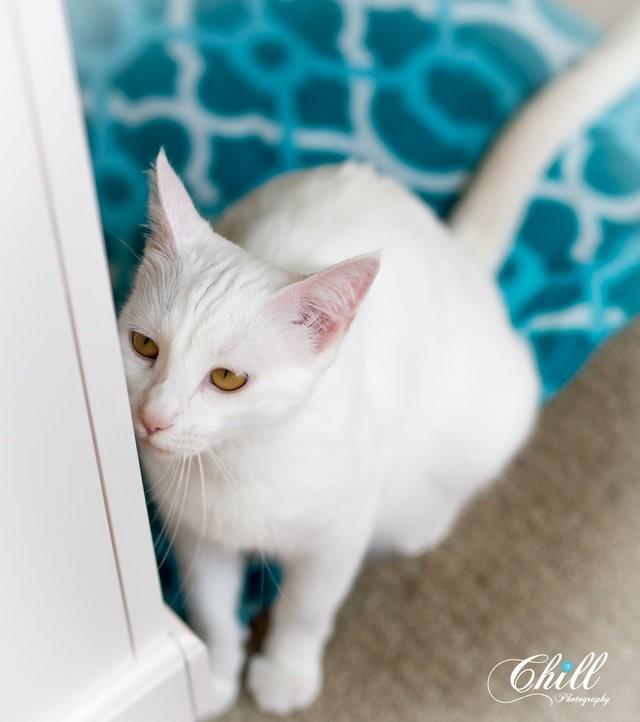 chatte blanche yeux dorés