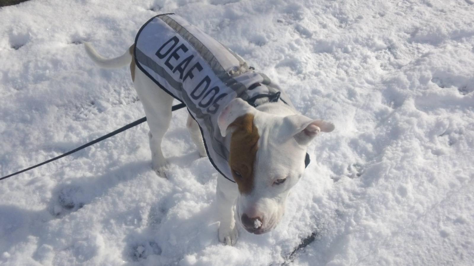 chien sourd neige