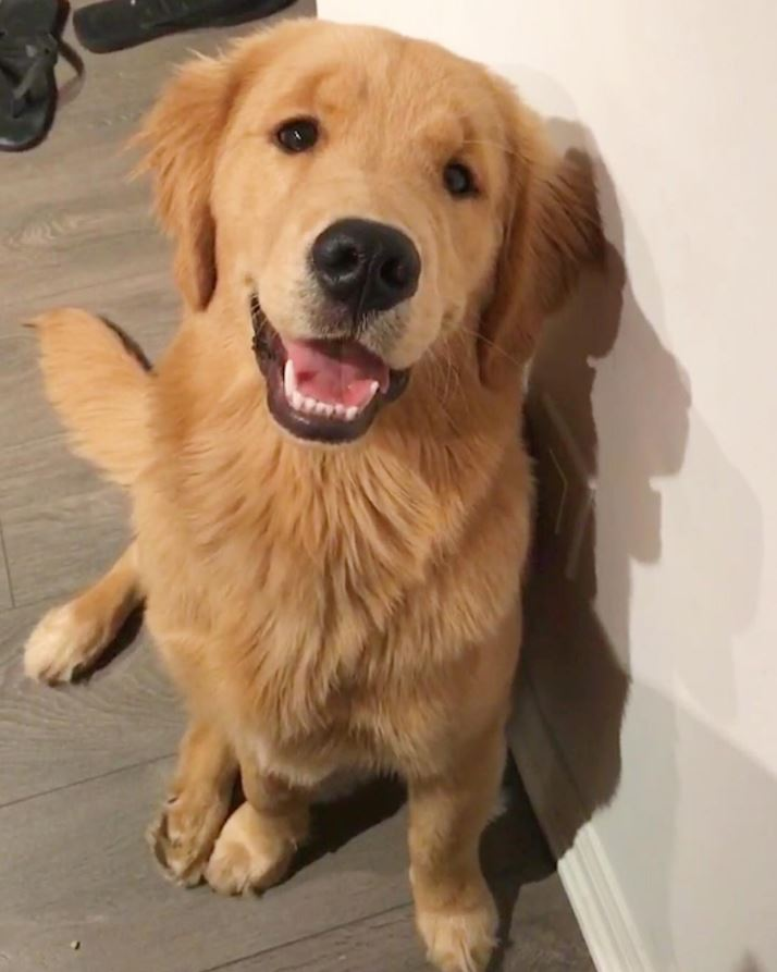 golden retriever jasper