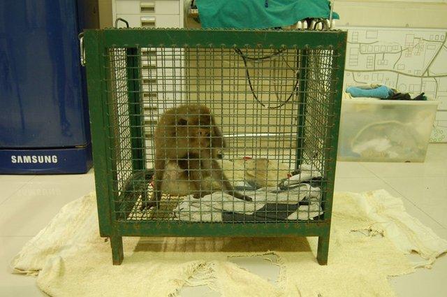 macaque thailande