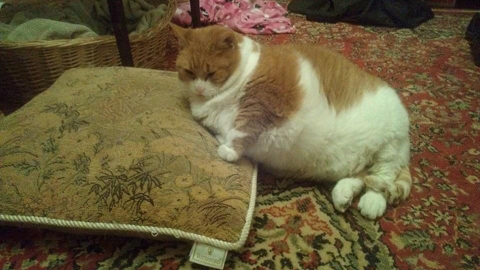 chatte obèse