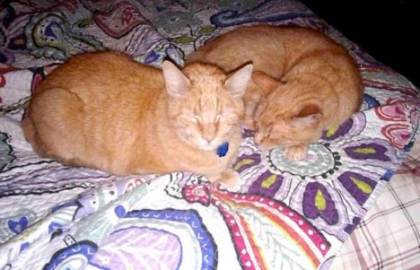 chats roux dormir
