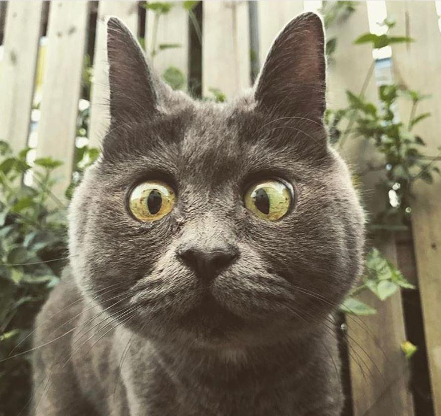 chat bleu russe hydrocéphale