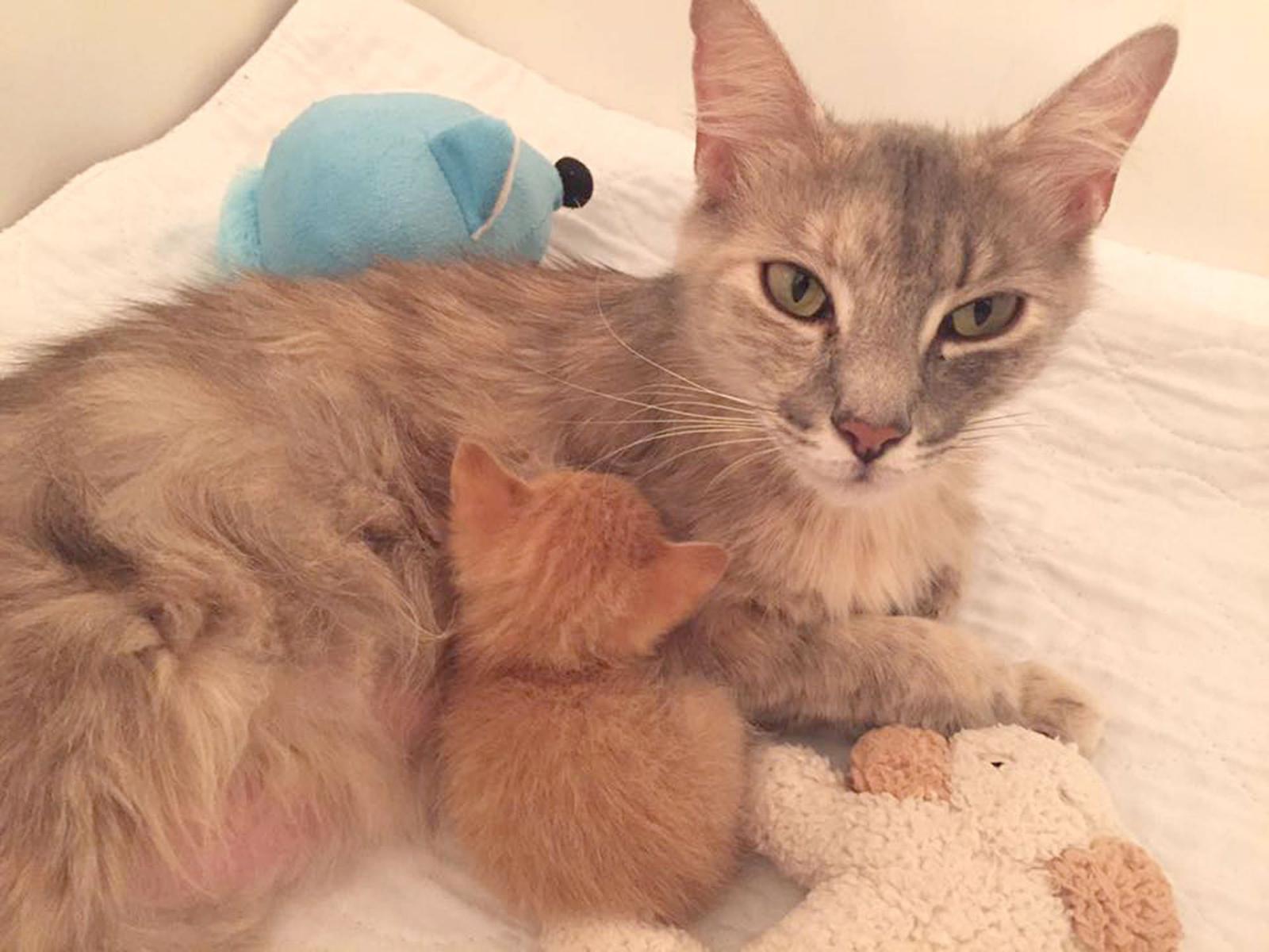 chatte adopte chaton abandonné