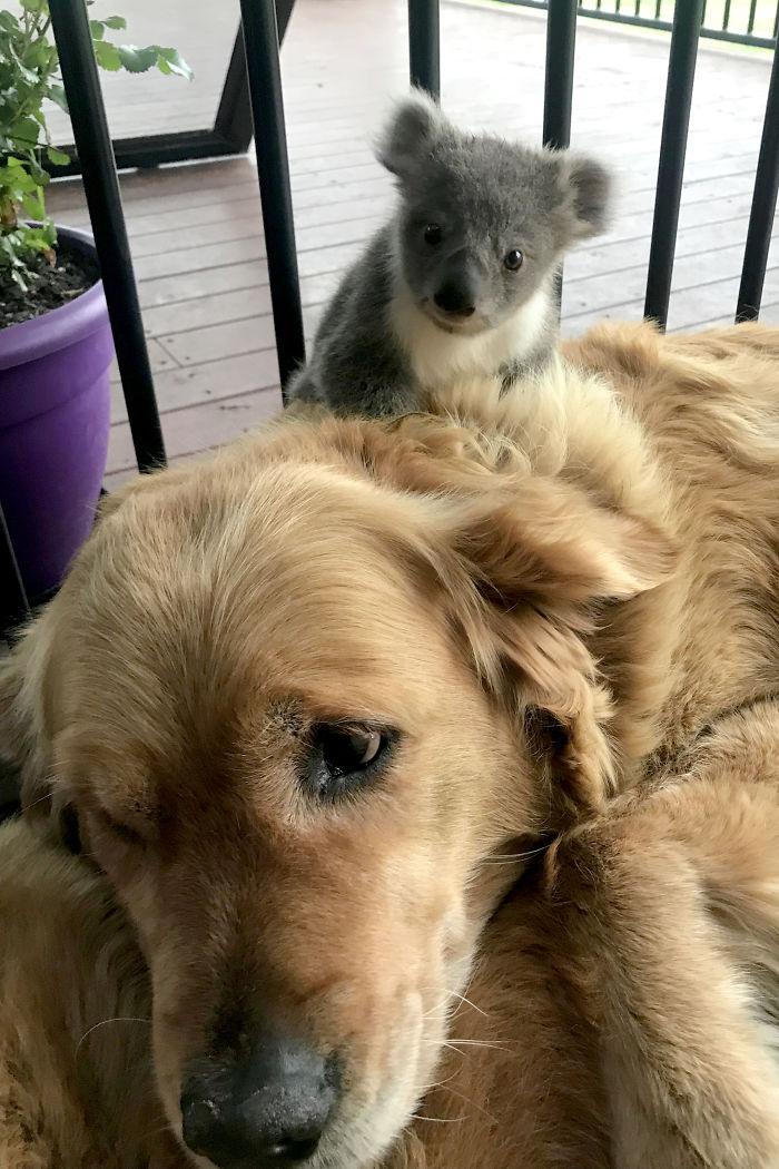 koala golden