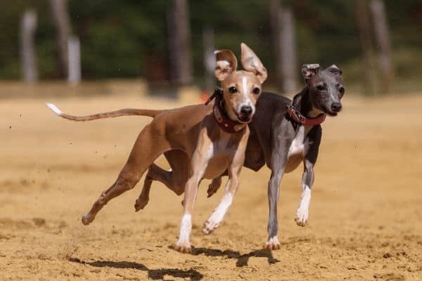 lévriers qui courent