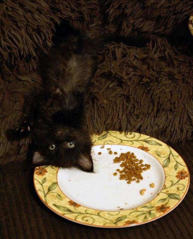 chaton noir assiette