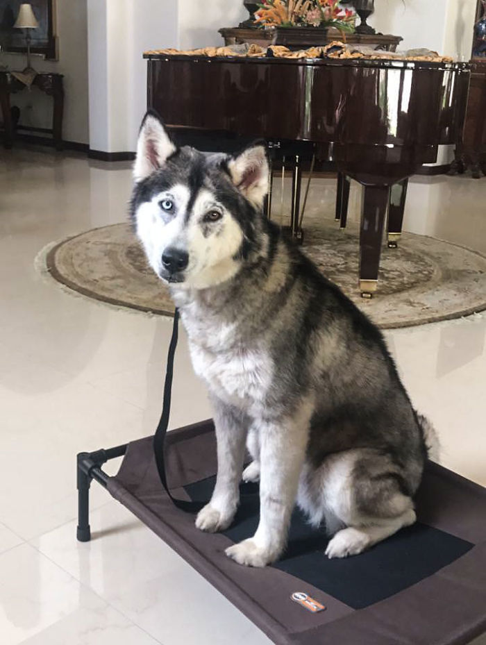 husky beau adoption
