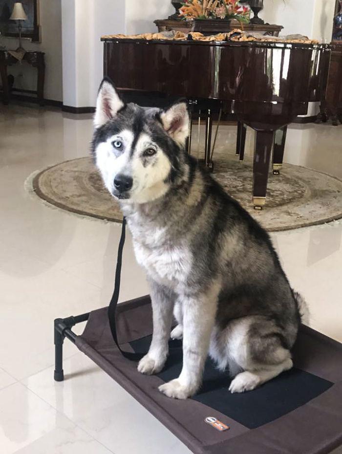 husky  beau adoption