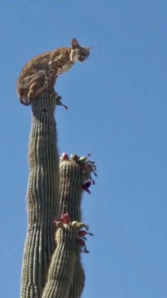 lynx cactus