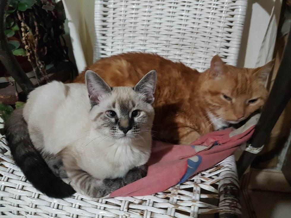 chat siamois et chat roux