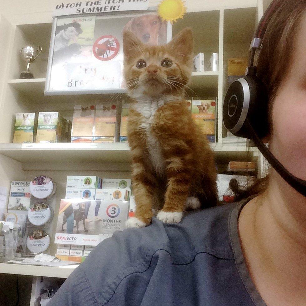 chaton roux épaules