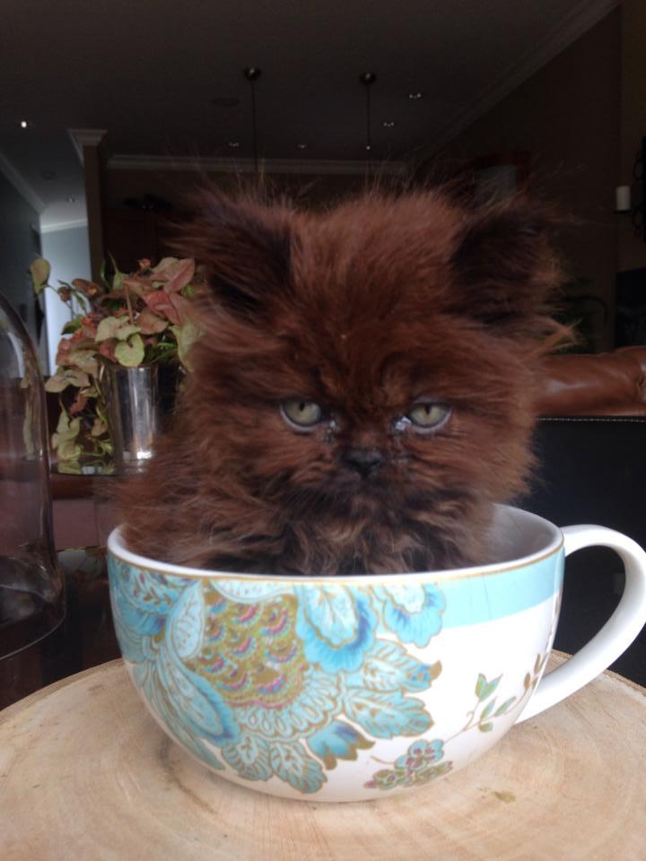 chaton gris tasse