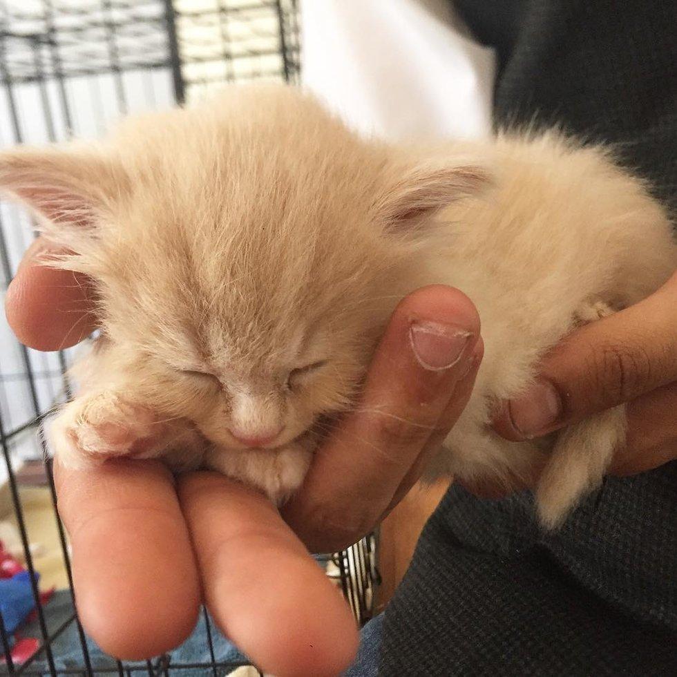 petit chaton roux