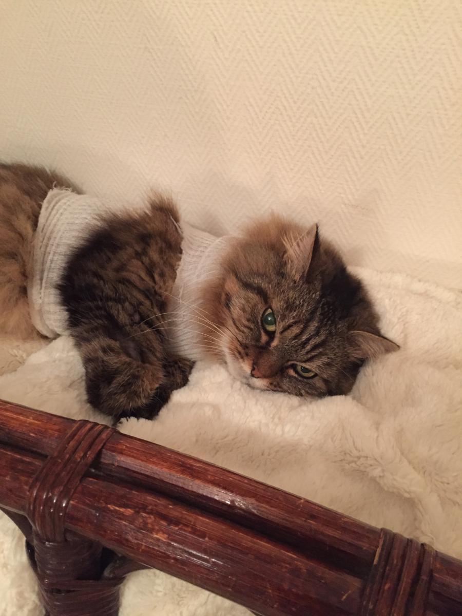 chatte sauvage domestiquée