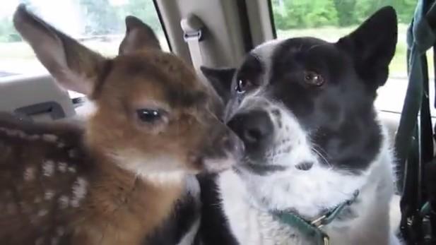 Les 10 plus belles histoires de papas animaux qui ont adopté des petits protégés