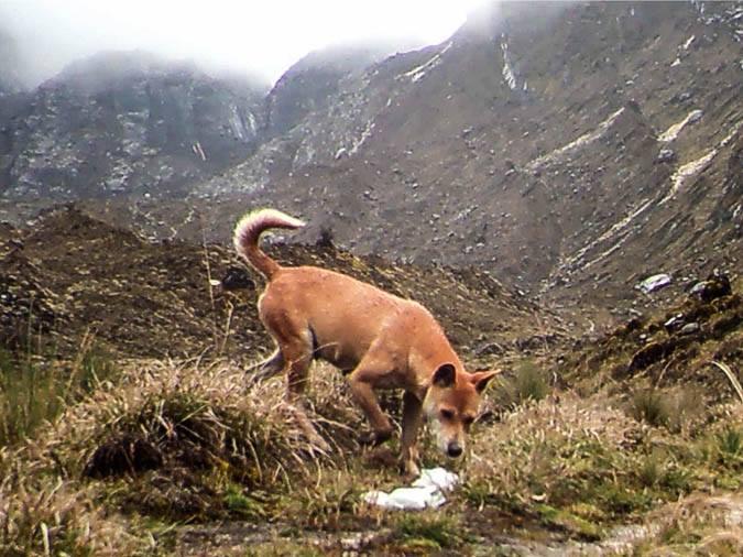 chien sauvage des montagnes de Nouvelle Guinée