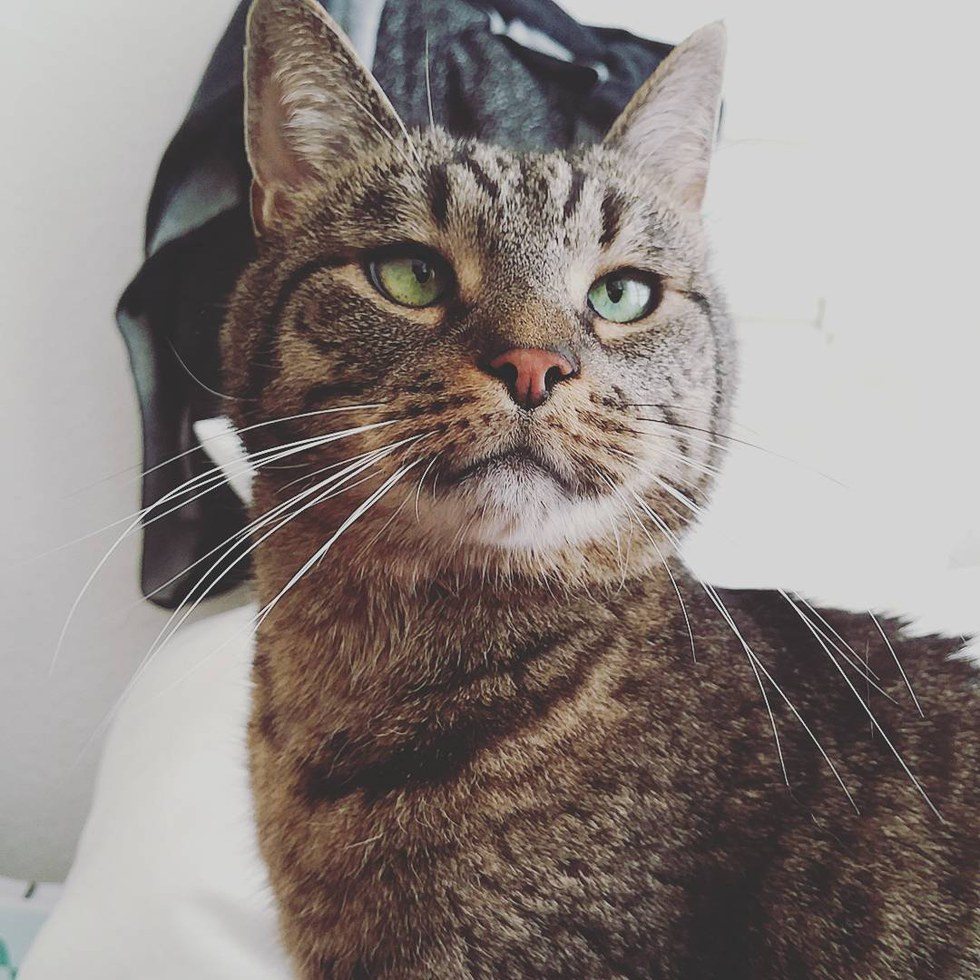 vieux chat tigré