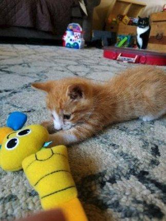 chaton roux jeu